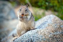 American Grey Squirrel At Yosemite National Park