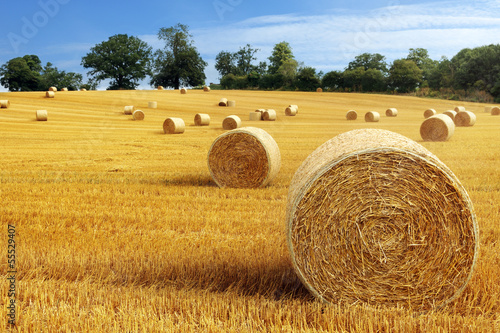 Fototapeta Hay bales in golden field
