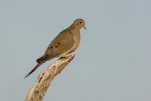 Morning Dove, Zenaida Macroura,