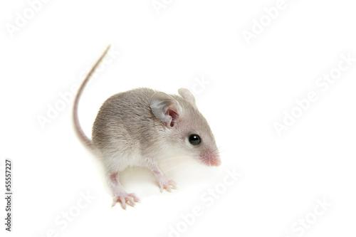 Photo Eastern or arabian spiny mouse baby (Acomys dimidiatus)