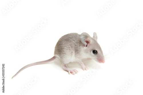 Eastern or arabian spiny mouse baby (Acomys dimidiatus) Canvas Print
