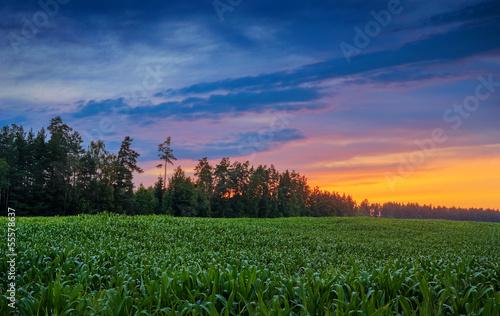 Poster Texas corn field near the wood on sunset