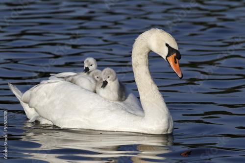 Deurstickers Zwaan Mute swan, Cygnus olor