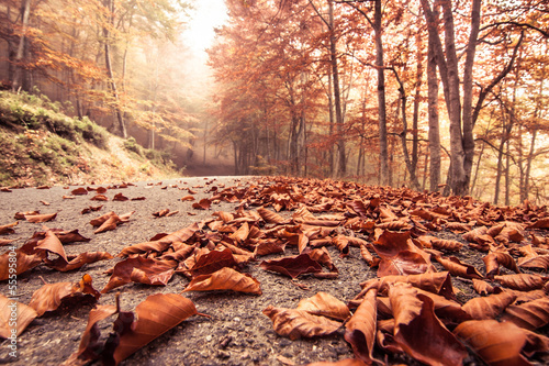 Poster Corail Autumn beech road