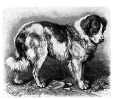 Dog : Saint Bernard