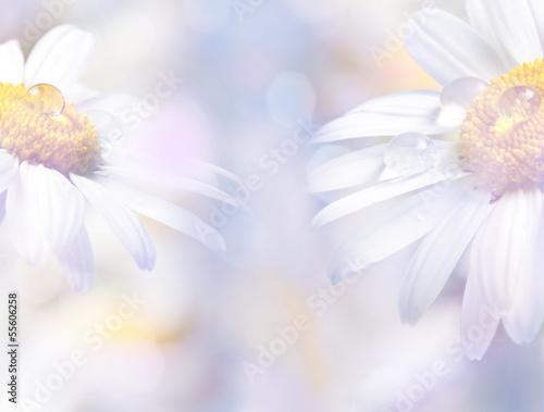 In de dag Madeliefjes daisy with dew drops