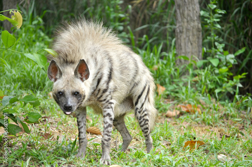 Deurstickers Hyena Striped hyena