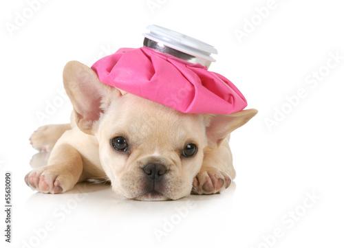 Fotografia  sick puppy