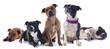 cinq staffordshire bull terrier