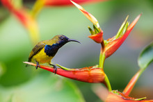 Male Olive-backed Sunbird On A...