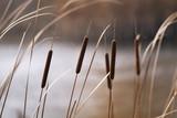 Reeds in Autumn - 55661015
