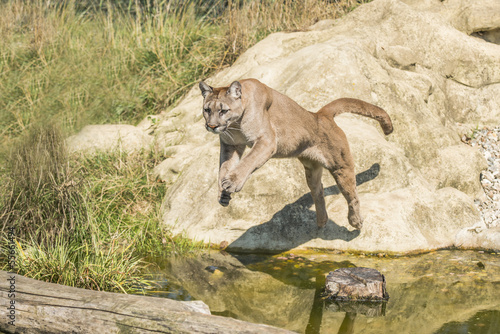 Fotobehang Puma Puma (Felis Concolor) leaping off a rock over water