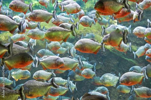 Valokuva  Red piranha (Pygocentrus nattereri)