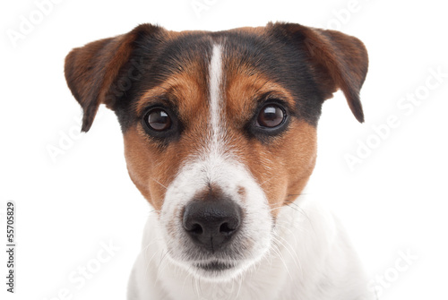 Fotografie, Obraz  Jack Russell terrier on white background
