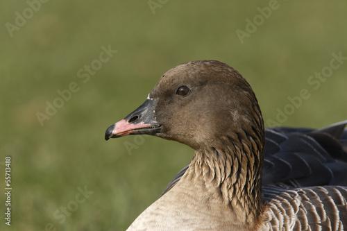 Pink-footed goose, Anser brachyrhynchus