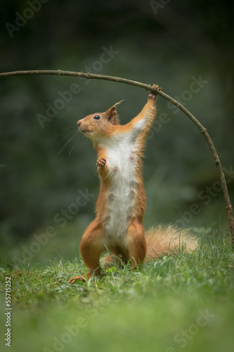 Fotomural  Red Squirrel in funny pose.