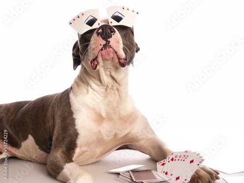 american staffordshire terrier with playing cards Poster