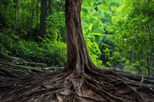 Old Tree With Big Roots In Gre...