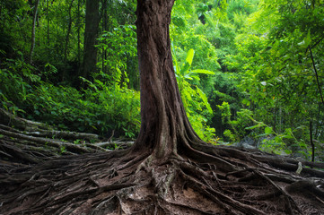 Fototapeta Industrialny Old tree with big roots in green jungle forest