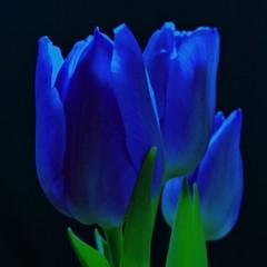 Obraz na Szkleblue tulip