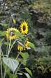 Sonnenblume mit mehreren Blüten und Knospen