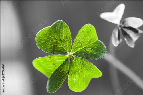 Fotografia  Four Leaf Clover