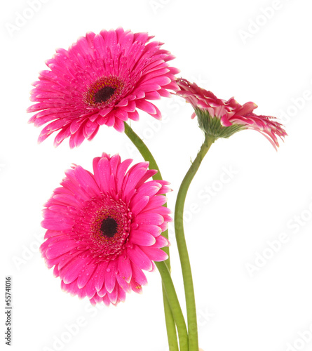 Poster Gerbera Beautiful pink gerbera flowers isolated on white
