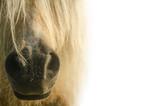 White pony. nose pony on white background