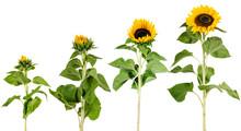 Wachstum, Entwicklung Einer Sonnenblume