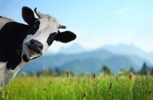 Deurstickers Koe Cow