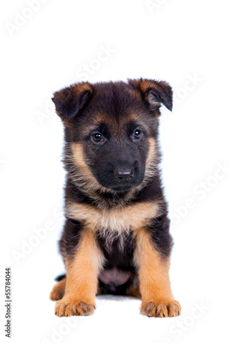 Carta da parati German shepherd puppy isolated on white background