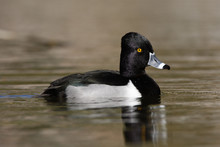 Ring-necked Duck, Aythya Colla...