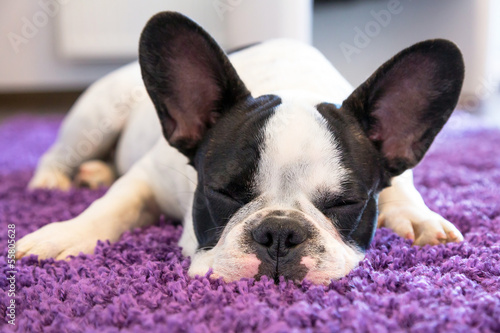 Poster Bouledogue français French bulldog sleeping on the carpet