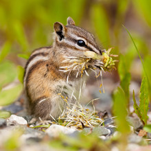 Least Chipmunk Tamias Minimus ...