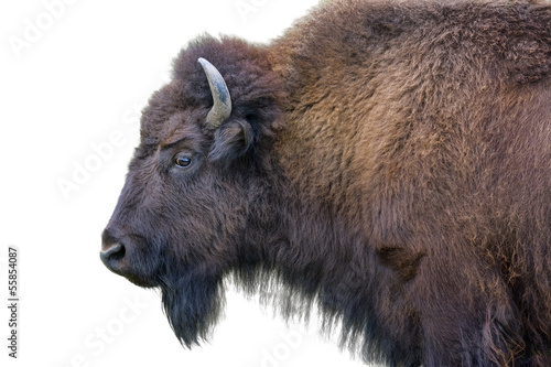 Spoed Fotobehang Buffel Adult Bison Isolated on White