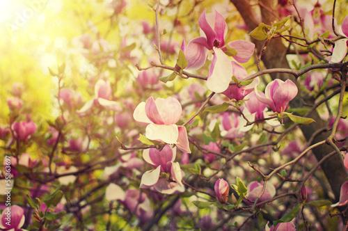 kwiaty-magnolii
