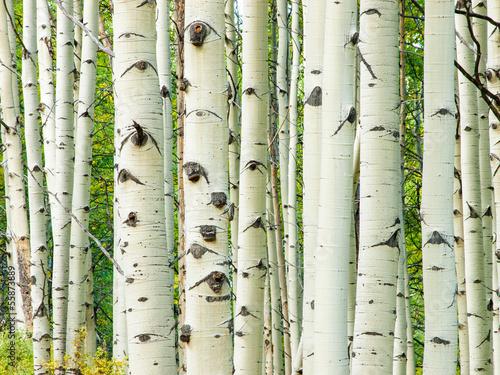 aspen-trunks-in-fall