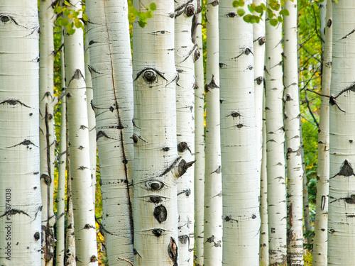 aspen-trunks-jesienia