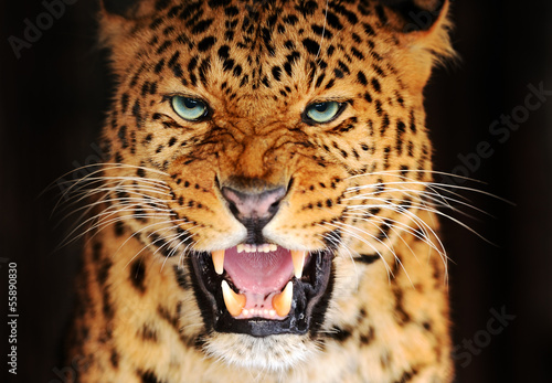 Photo Stands Leopard Portrait Leopard