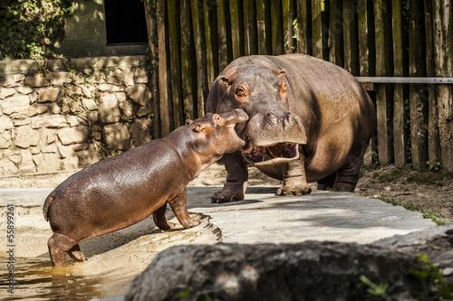 Fotografija  Cucciolo di ippopotamo con la madre