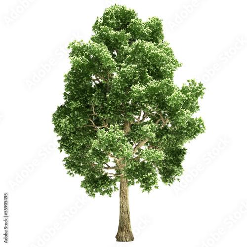 Fotografie, Obraz Poplar Tree Isolated
