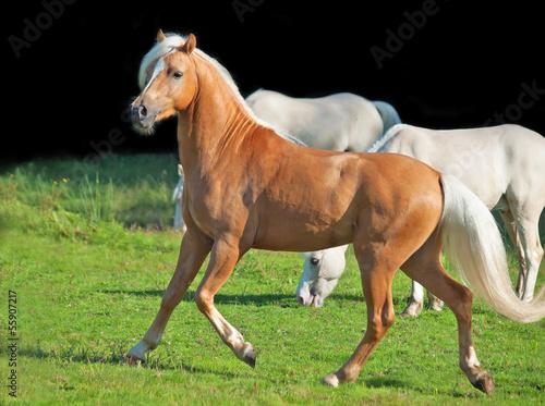 running palomino welsh pony Canvas Print
