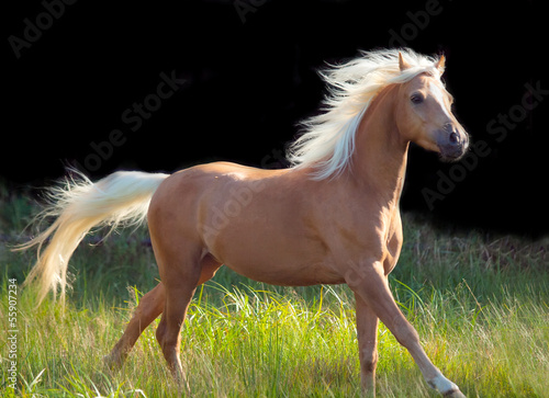 Fototapeta galoping palomino welsh pony at black background