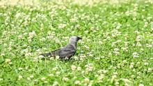 Jackdaw Bird On The Grass