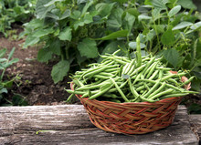 Green Beans Picked