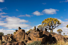 Group Of Dassies In Front Of A Quiver Tree, Namibia
