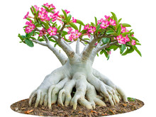 Desert Rose Or Ping Bignonia Flower Tree Isolated On White