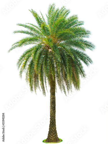 Keuken foto achterwand Palm boom Palm tree isolated on white background