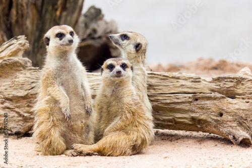 Carta da parati Group of cute meerkat