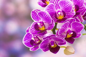 Fototapeta Piękne różowa orchidea - phalaenopsis